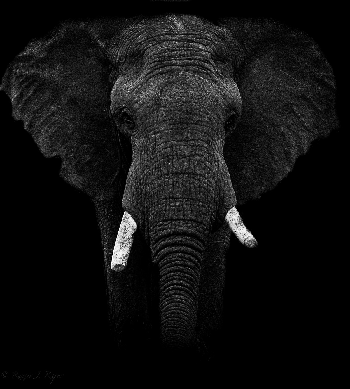 African Bull Elephant by Runjiv J. Kapur, Image Photography, Digital Print on Canvas, Black color