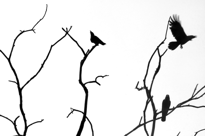 Cacophony by Crows 1 by Subhajit Dutta, Photography, Digital Print on Paper, White color