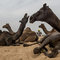 Pushkar Camels by Prabir Mitra, Image Photography, Digital Print on Paper, Brown color