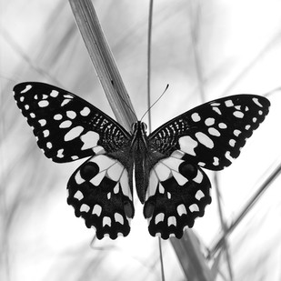 Butterfly by CR Shelare, Image Photograph, Digital Print on Canvas, Gray color