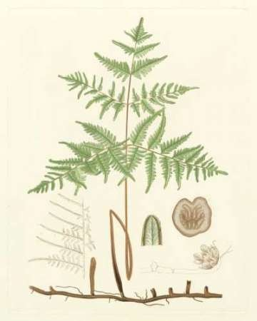 Eaton Ferns III Digital Print by Eaton,Realism
