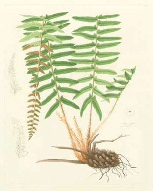 Eaton Ferns IV Digital Print by Eaton,Realism