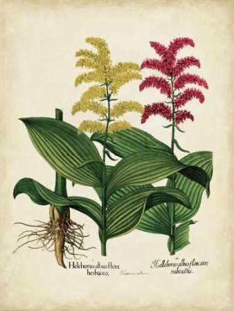 Besler Florilegium II Digital Print by Besler, Basilius,Decorative