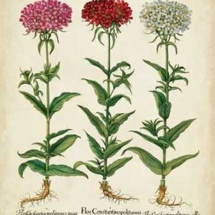 Besler Florilegium IV Digital Print by Besler, Basilius,Decorative