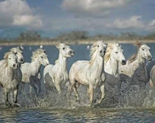 White Horses of the Camargue Digital Print by PHBurchett,Realism
