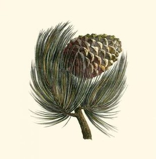 Pignon Pine Digital Print by Unknown,Realism