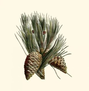 Bordeaux Pine Digital Print by Unknown,Realism