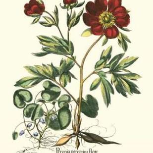 Red Besler Peonie III Digital Print by Besler, Basilius,Decorative