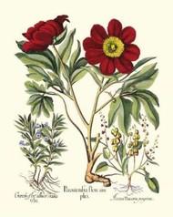 Red Besler Peonie IV Digital Print by Besler, Basilius,Decorative