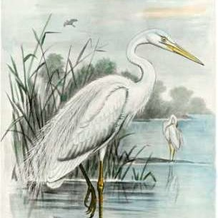 Oversize White Heron Digital Print by unknown,Impressionism