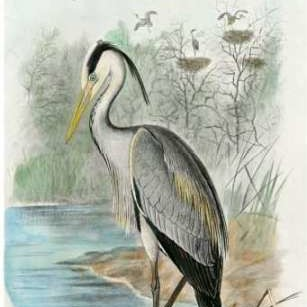 Oversize Common Heron Digital Print by unknown,Impressionism