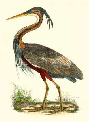 Purple Heron Digital Print by Selby, John,Realism