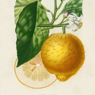 French Lemon Botanical I Digital Print by Risso, A.,Decorative