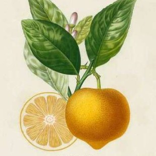 French Lemon Botanical III Digital Print by Risso, A.,Decorative