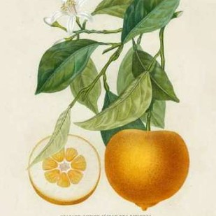 French Orange Botanical I Digital Print by Risso, A.,Decorative