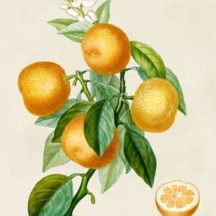 French Orange Botanical III Digital Print by Risso, A.,Decorative