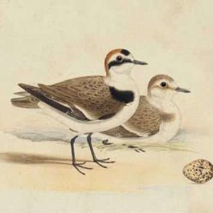 Meyer Shorebirds V Digital Print by Meyer, H.L.,Decorative