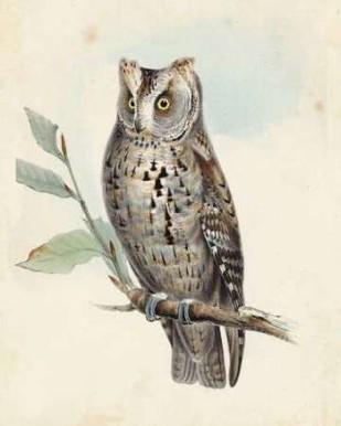 Meyer Scops-Eared Owl Digital Print by Meyer, H.L.,Decorative