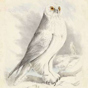 Meyer Snowy Owl Digital Print by Meyer, H.L.,Decorative