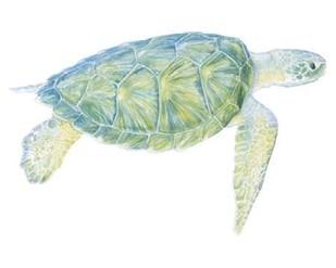 Tranquil Sea Turtle I Digital Print by Meagher, Megan,Impressionism