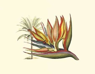 Bird of Paradise I Digital Print by Edwards, Sydenham,Decorative