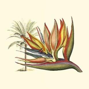 Bird of Paradise I Digital Print by Edwards, Sydenham,Decorative