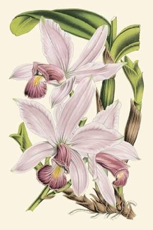 Delicate Orchid I Digital Print by Vision Studio,Decorative