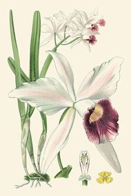 Delicate Orchid II Digital Print by Vision Studio,Decorative