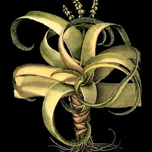 Dramatic Aloe I Digital Print by Besler, Basilius,Decorative