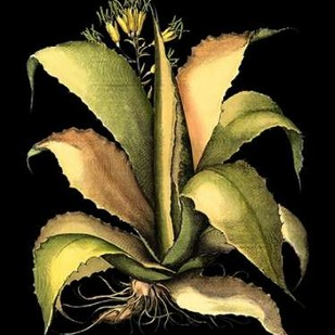 Dramatic Aloe II Digital Print by Besler, Basilius,Decorative