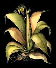 Dramatic Aloe II Digital Print by Besler, Basilius,Decorative
