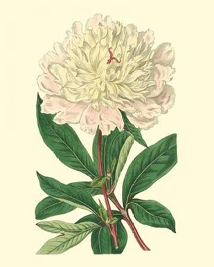 Chinese Peony Digital Print by Edwards,Impressionism