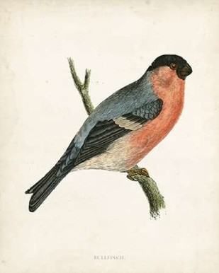 Morris Bullfinch Digital Print by Morris,Decorative