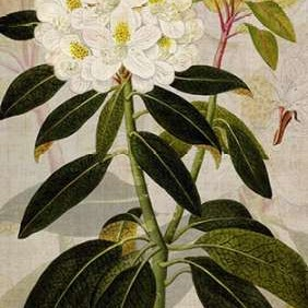 Rhododendron I Digital Print by Butler, John,Decorative