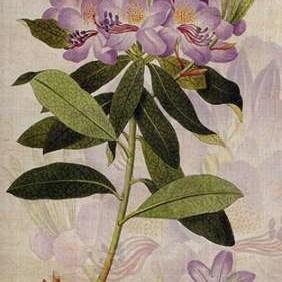 Rhododendron II Digital Print by Butler, John,Decorative