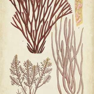 Seaweed Specimen in Coral I Digital Print by Vision Studio,Illustration