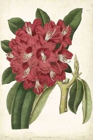 Antique Rhododendron II Digital Print by Curtis,Decorative