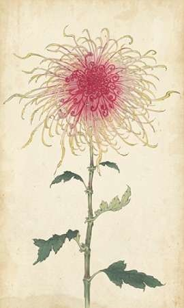 Elegant Chrysanthemums I Digital Print by Unknown,Decorative