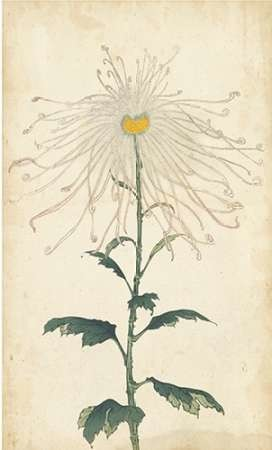 Elegant Chrysanthemums V Digital Print by Unknown,Decorative