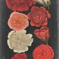 Midnight Roses Print By Vision Studio