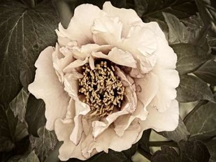 Golden Era Peony II Digital Print by Perry, Rachel,Decorative, Photorealism