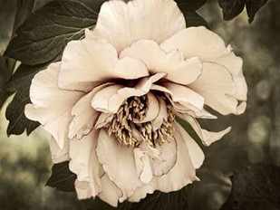 Golden Era Peony IV Digital Print by Perry, Rachel,Decorative, Photorealism