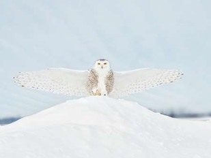 Owl in Flight III Digital Print by Burchett, PH,