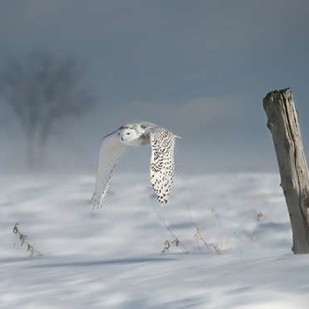 Owl in Flight VI Digital Print by Burchett, PH,Impressionism