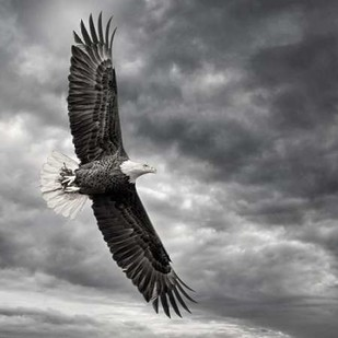 Eagle in Flight Digital Print by Burchett, PH,