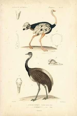 Antique Ostrich Study Digital Print by Remond, N.,Decorative