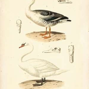 Antique Swan Study Digital Print by Remond, N.,Decorative
