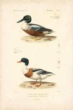 Antique Duck Study II Digital Print by Remond, N.,Decorative