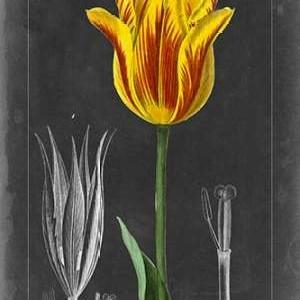 Midnight Tulip V Digital Print by Vision Studio,Decorative