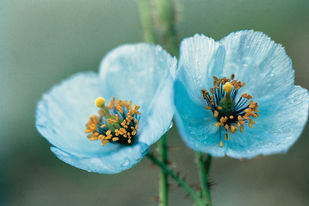 Himalayan Flower 10 by Ashwin Mehta, Image Photography, Digital Print on Paper, Green color